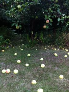 Æblerne er modne og falder af træerne - nedfaldsæbler smager godt og kan bruges til en masse. Foto Katrine Klinken, 2013