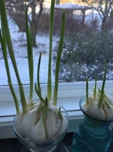 """Spirede hvidløg - """"hvidløgspurløg"""" er friske om vinteren. Foto Klinken 2015"""